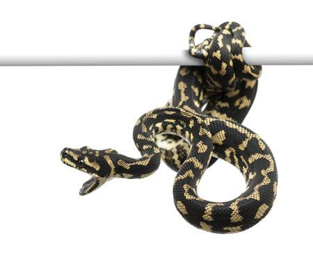 coiled: Jungle carpet python attacking, Morelia spilota cheynei against white background Stock Photo
