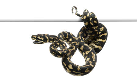 Jungle carpet python, Morelia spilota cheynei against white background photo