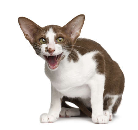 Oriental shorthair sitting and meowing against white background photo