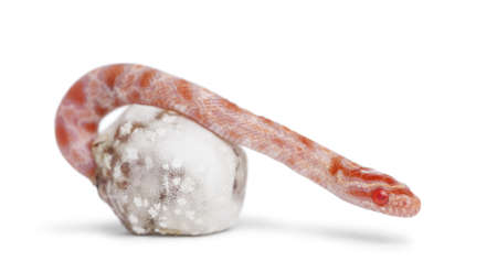 Corn snake hatching, Pantherophis guttatus guttatus, also know as red rat snake against white background photo