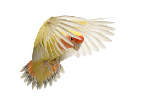 Rosy-faced Lovebird flying, Agapornis roseicollis, also known as the Peach-faced Lovebird in front of white background photo