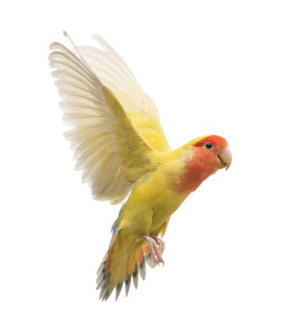 Rosy-faced Lovebird volare, Agapornis roseicollis, noto anche come il Peach-faced Lovebird di fronte a sfondo bianco Archivio Fotografico