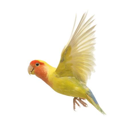 Rosy-faced Lovebird vuelo, Agapornis roseicollis, también conocido como el Lovebird Melocotón-hecho frente delante de fondo blanco Foto de archivo