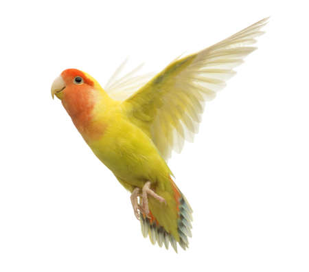lovebird: Rosy-faced Lovebird flying, Agapornis roseicollis, also known as the Peach-faced Lovebird in front of white background Stock Photo