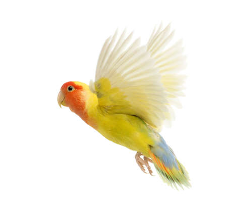 bird view: Rosy-faced Lovebird flying, Agapornis roseicollis, also known as the Peach-faced Lovebird in front of white background Stock Photo