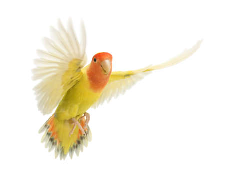lovebird: Portrait of Rosy-faced Lovebird flying, Agapornis roseicollis, also known as the Peach-faced Lovebird in front of white background