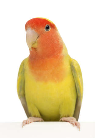 lovebird: Portrait of Rosy-faced Lovebird, Agapornis roseicollis, also known as the Peach-faced Lovebird against white background