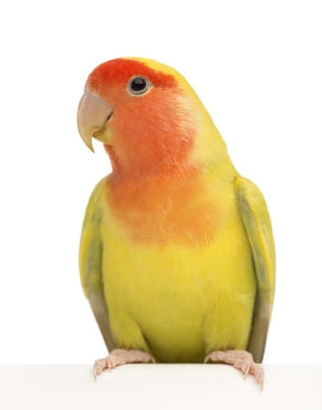 lovebird: Rosy-faced Lovebird, Agapornis roseicollis, also known as the Peach-faced Lovebird against white background