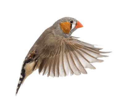 Zebra Finch flying, Taeniopygia guttata, against white background photo
