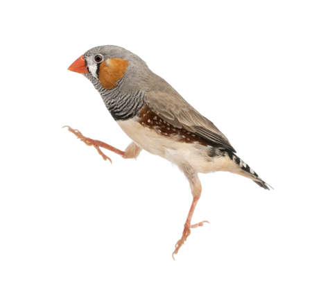 Zebra Finch jumping, Taeniopygia guttata, against white background photo