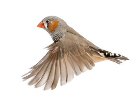 bird flying: Zebra Finch flying, Taeniopygia guttata, against white background