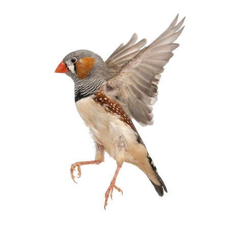 flying bird: Zebra Finch flying, Taeniopygia guttata, against white background