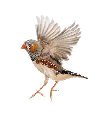 open wings: Zebra Finch flying, Taeniopygia guttata, against white background