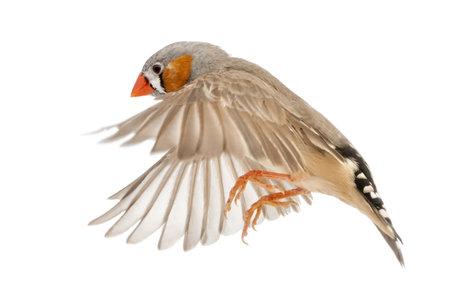 finch: Zebra Finch flying, Taeniopygia guttata, against white background