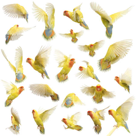 pajaros volando: Composici�n de Rosy-faced Lovebird vuelo, Agapornis roseicollis, tambi�n conocido como el Lovebird Melocot�n-hecho frente contra el fondo blanco