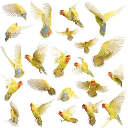 zwerm vogels: Samenstelling van Rosy-faced Lovebird vliegen, Agapornis roseicollis, ook wel bekend als de Peach-faced Lovebird tegen een witte achtergrond Stockfoto