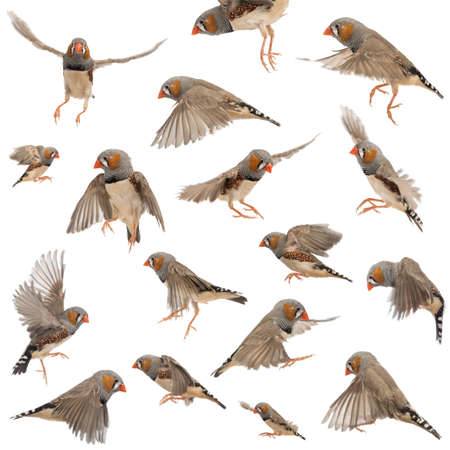 Composition of Zebra Finch flying, Taeniopygia guttata, against white background Stock Photo - 15344966