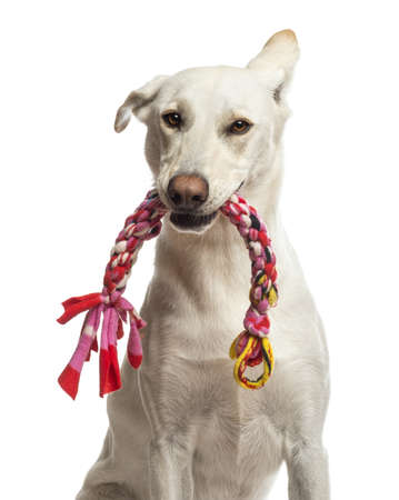 dog toy: Portrait of Crossbreed dog holding toy in its mouth against white background Stock Photo