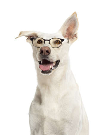 crossbreed: Crossbreed dog wearing glasses against white background