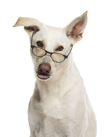 Portrait of Crossbreed dog wearing glasses against white background Stock Photo