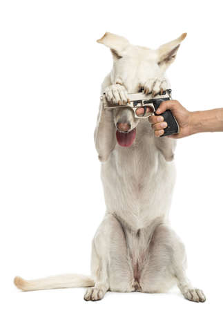 animal cruelty: Semi-automatic pistol pointed at Crossbreed dog on hind legs holding pistol against white background Stock Photo