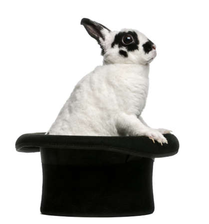 Dalmatian Rabbit standing in magicians top hat, against white background photo