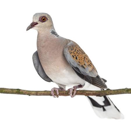 turtle dove: European Turtle Dove perched on branch, Streptopelia turtur, also known as the Turtle Dove against white background Stock Photo