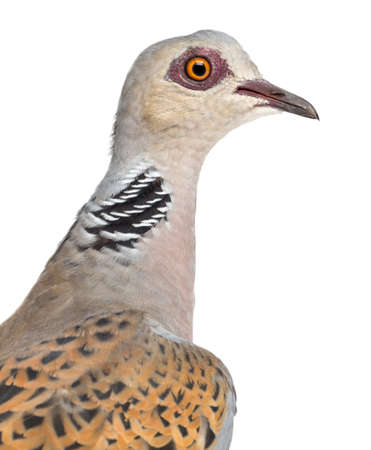 turtle dove: European Turtle Dove, Streptopelia turtur, also known as the Turtle Dove against white background Stock Photo