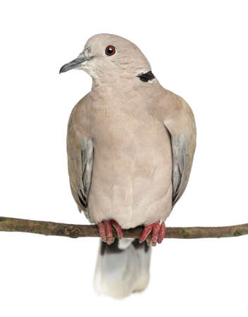 Eurasian Collared Dove perched on branch, Streptopelia decaocto, often called the Collared Dove against white background photo