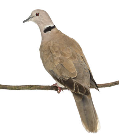 often: Rear view of an Eurasian Collared Dove perched on branch, Streptopelia decaocto, often called the Collared Dove against white background Stock Photo