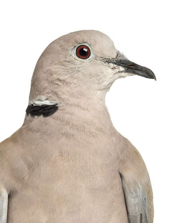 often: Eurasian Collared Dove, Streptopelia decaocto, often called the Collared Dove against white background
