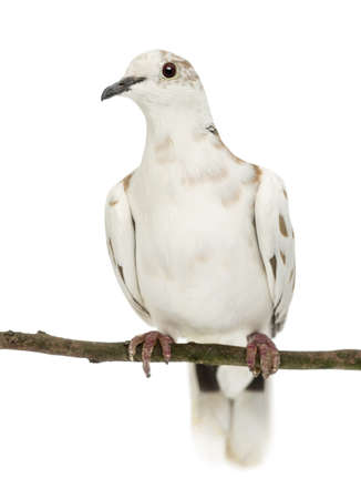 African Collared Dove perched on branch, Streptopelia roseogrisea, against white background photo