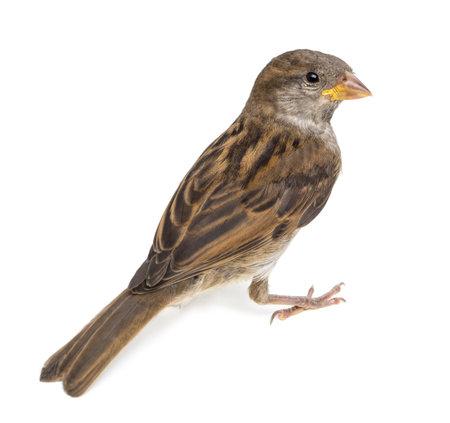 sparrow: House Sparrow against white background