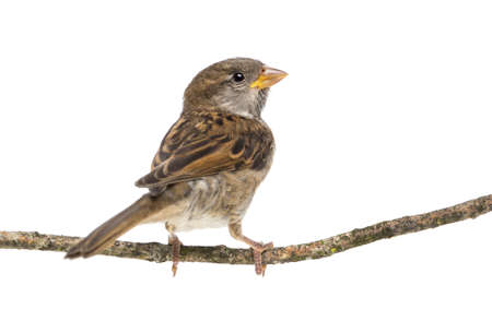 sparrow: House Sparrow standing on branch against white background