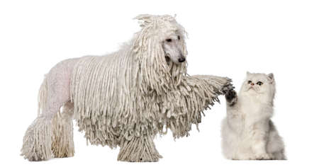 White Corded Standard Poodle and Persian high fiving against white background photo