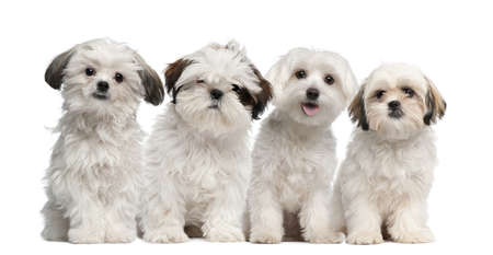 shih tzu: Group of Shih Tzu and Maltese puppy sitting and looking at camera against white background