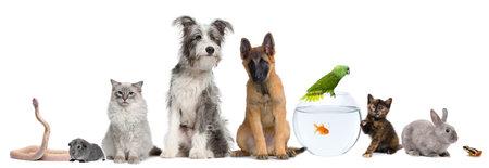 Groep van huisdieren met hond, kat, konijn, fret, vis, kikker, rat, vogel, cavia, reptiel, slang tegen een witte achtergrond Stockfoto