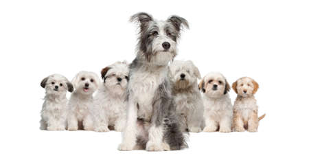 shih tzu: Group of dogs, Bearded Collie, Maltese, Shih Tzu, sitting in front of white background
