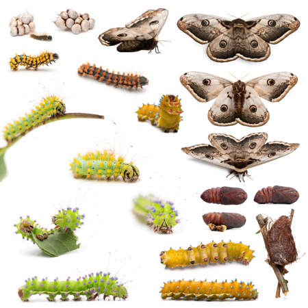 Complete evolution of Giant Peacock Moth, Saturnia pyri, against white background photo
