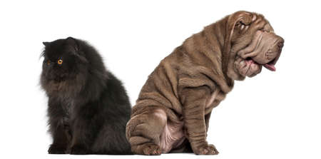 Sharpei and Persian sitting back to back against white background photo