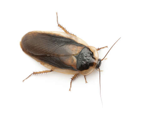 Cockroach against white background photo
