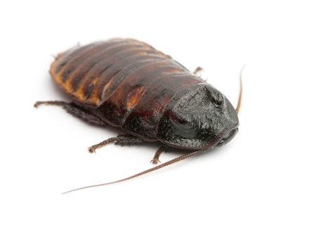 hissing: Madagascar sibilo Cockroach, portentosa Gromphadorhina, noto anche come il sibilo scarafaggio o semplicemente Hisser su sfondo bianco