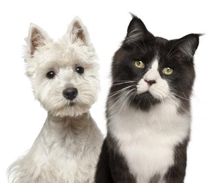 maine coon: Close-up der Maine Coon Katze, 15 Monate alt, und West Highland Terrier vor wei�em Hintergrund
