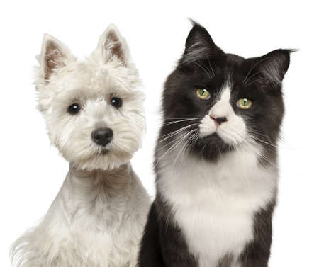maine cat: Primer plano de Maine Coon gato, a 15 meses de edad, y West Highland Terrier sobre fondo blanco