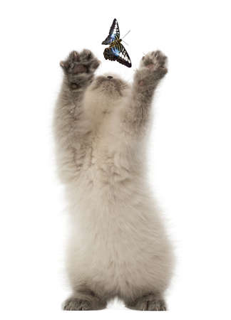 British Shorthair Kitten trying to catch a butterfly against white background photo