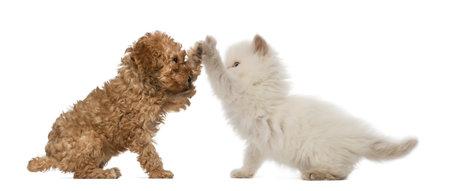 Poedel Puppy en Brits Langhaar Kitten hoge fiving tegen een witte achtergrond