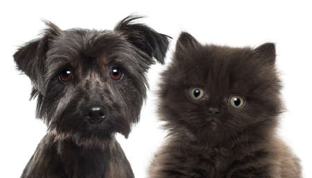 yorkshire terrier: Close-up of British Longhair Kitten, 5 weeks old, and Yorkshire terrier against white background Stock Photo