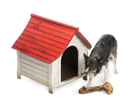 High angle of a Border Collie with huge bone in front of its kennel against white background photo