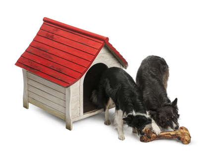 High angle view of Two Border Collies eating a huge bone in front of their kennel against white background photo