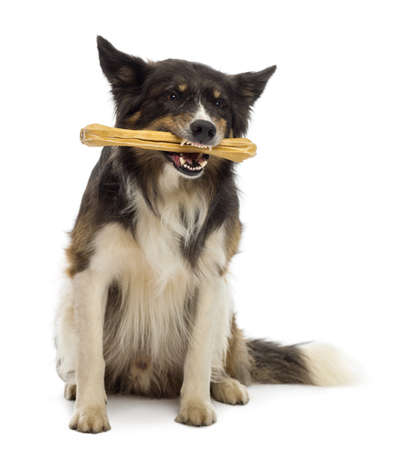 Border Collie sitting and chewing bone against white background photo